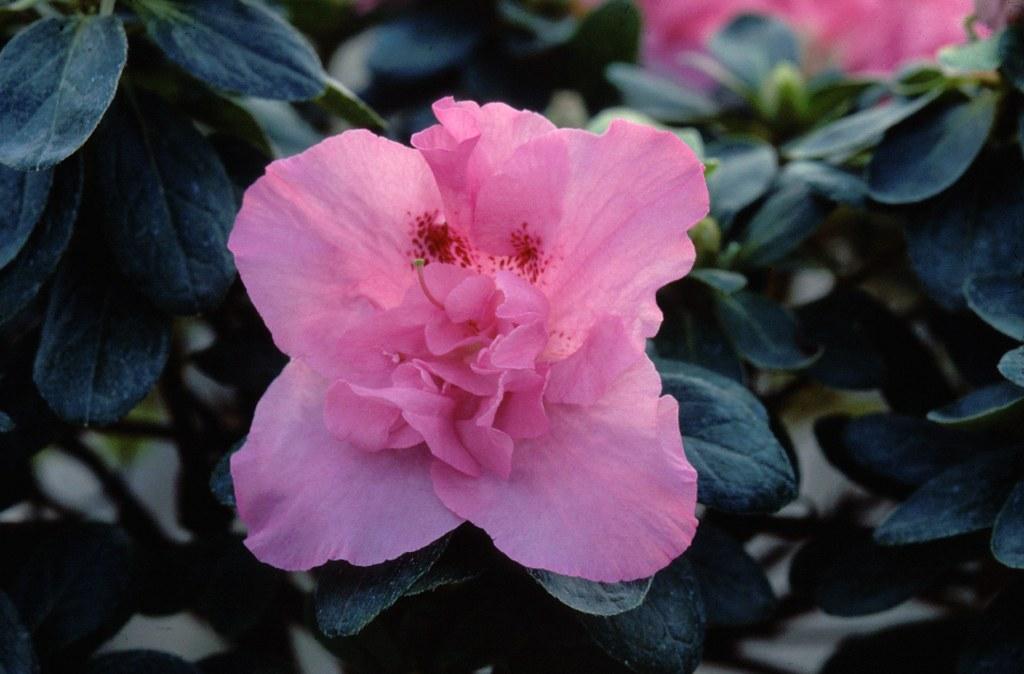 Azalea indica 'Sankt Valentin'