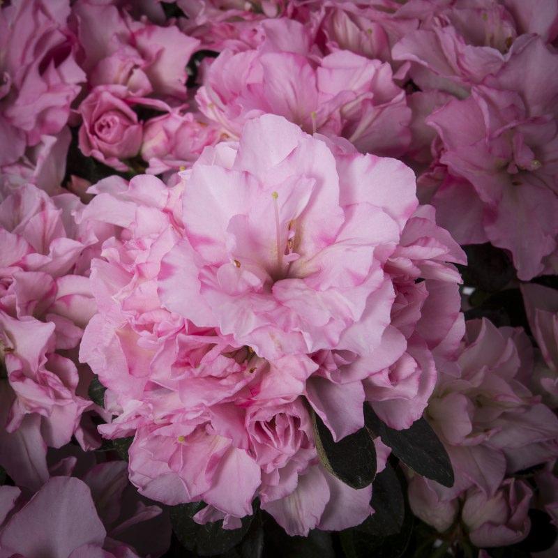 Azalea indica 'Finesse Roze'