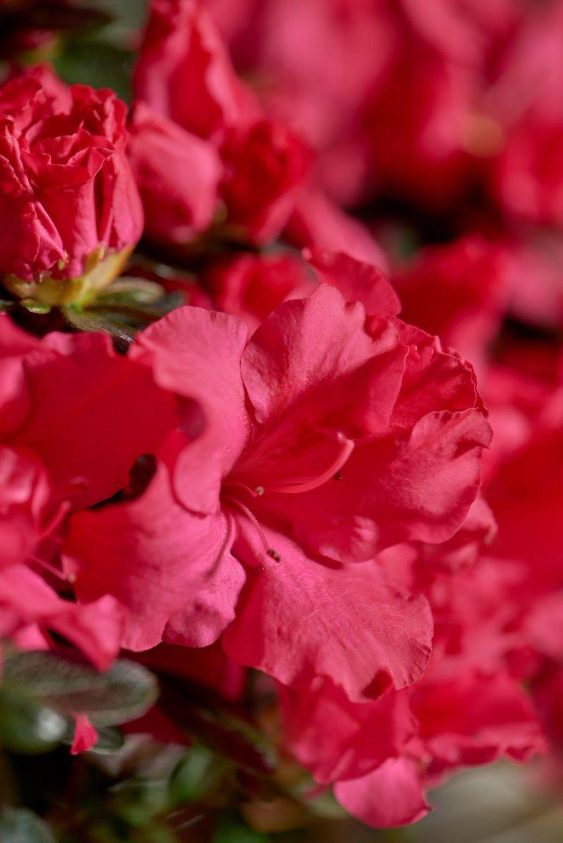 Azalea indica Hortinno Classic Rouge